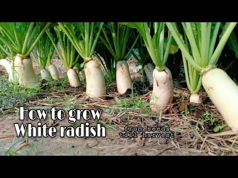 Growing White Radish From Seeds Till Harvest / Easy and Grow well / White Radish by NY SOKHOM