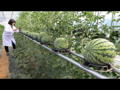 WOW! Strange Watermelon - Amazing Agriculture Technology
