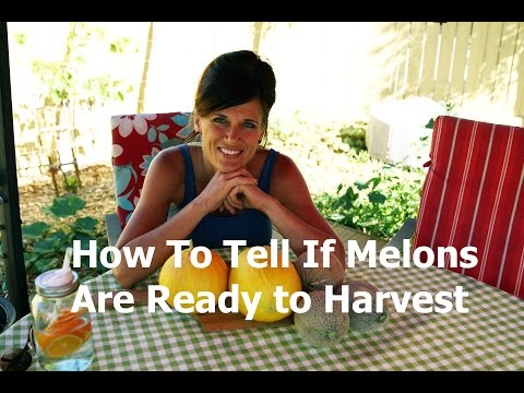 How to Tell if a Melon is Ready to Harvest - Canary Melon (Cantaloupe Family) Harvest!