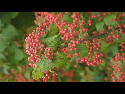 Planting Tips | How to Plant a Viburnum