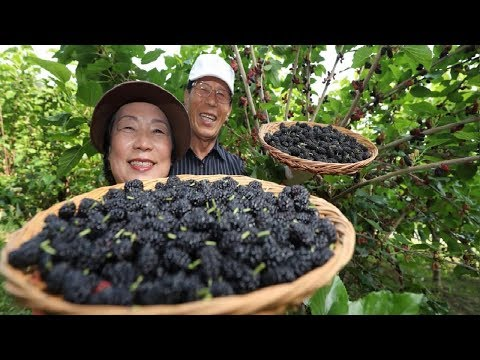 Asian Mulberry Fruit Farm and Harvest - Mulberry Juice Processing - Mulberry Cultivation