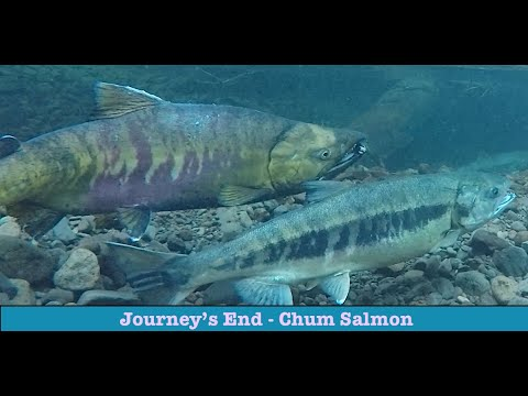 Journey's End - Chum Salmon