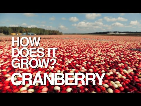 CRANBERRY | How Does It Grow?