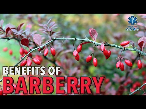 MAGNIFICENT BENEFITS OF BARBERRY