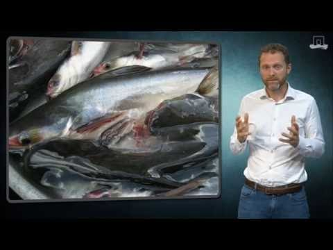 Is Pangasius safe to eat?