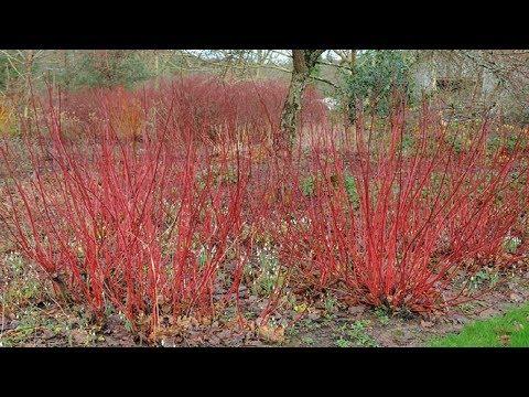 ⟹ Red Twig Dogwood | Cornus sericea | Trees of north America