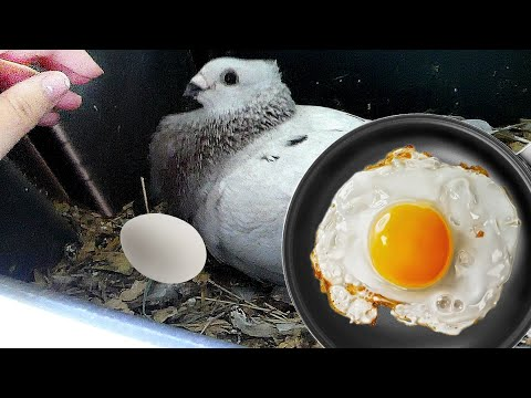 can you eat pigeon eggs?