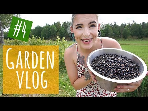 Garden Vlog #4 || Picking and storing black currants!
