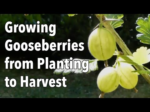 Growing Gooseberries from Planting to Harvest