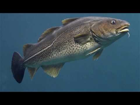 Interesting Haddock Facts
